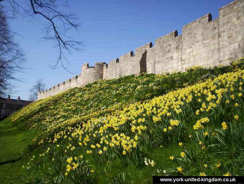 The walls of York. Even an uninteresting bit of wall can be set alight with the daffodils
